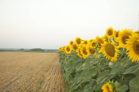 On the field of sunflowers with morning sunlight. Along the field of sunflower farming plantations.