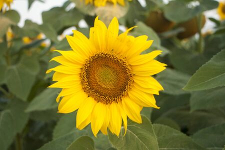 On the field of sunflowers with morning sunlight. Field of sunflower farming plantations. Sunflower head closeup