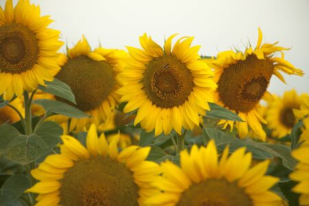 On the field of sunflowers with morning sunlight. Field of sunflower farming plantations. Stock fotó