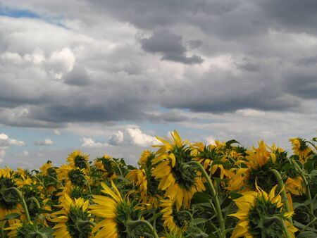 Summer field landscape with sunflowers with a cloudy rainy sky. Foto de archivo