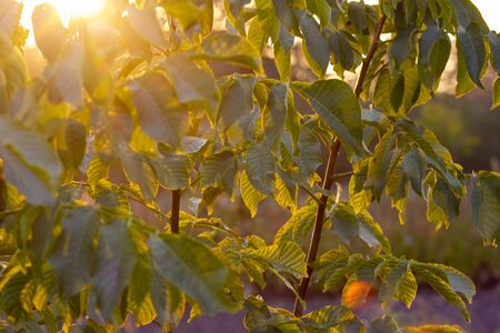 leaves of a nut tree in the control sunlight. Sun rays through the leaves.