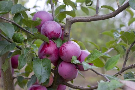 Florina, sometimes Querina, winter variety of home-made apple, Ripe fruit on a branch covered with dew from the rain. Vitamins. Vegetarian food.