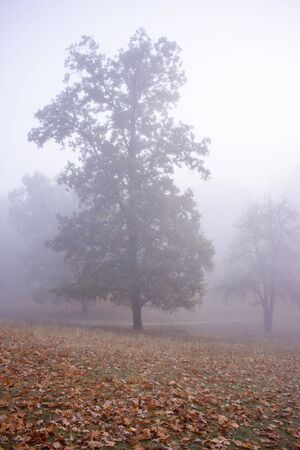 Old tree in the park in the morning fog