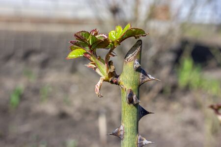 Shoot of a rose flower bush, spring sprout with young leaves blooming on a sunny day in a flowerbed. Plant care and pest and disease management.
