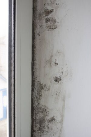 Stachybotrys chartarum or black mold, toxic mold. Mold on slopes in a house near windows that let in moisture.