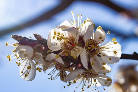 Damaged inflorescence of fruit trees apricot frosts. Decrease in fruit yield due to inclement weather in spring.