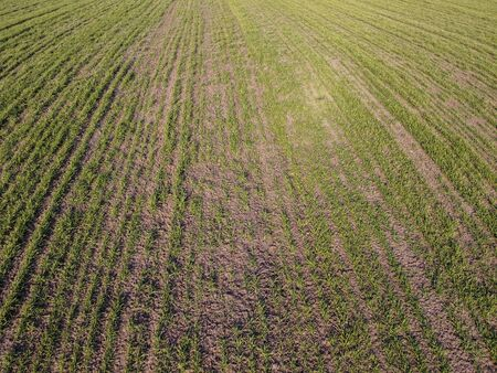 Destruction of small areas with winter crops by mice. Winter wheat is damaged by frost and rodents.