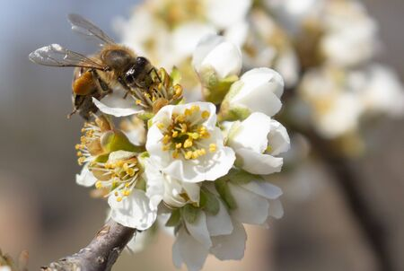 Beekeeping as a business, spring harvesting of honey from plum blossoms.