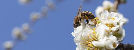 Beekeeping, close-up bees, pollination of fruits and honey collection. Reklamní fotografie