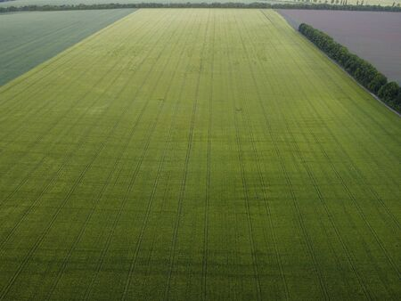 Large field of green barley or wheat view from the air, tracks from agricultural machinery after application of herbicides or fertilizers by irrigation.