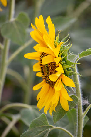 Young yellow sunflower grows on the field. Agriculture and cultivation of high-oil sunflowers.