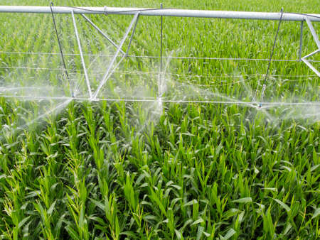 Nozzles spraying water, sprinkler automatic watering is installed on the field with corn.