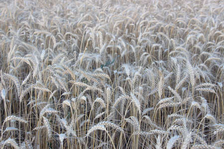 Ripe ears of barley are dry and ready for harvest, ears of ripe barley in the field.