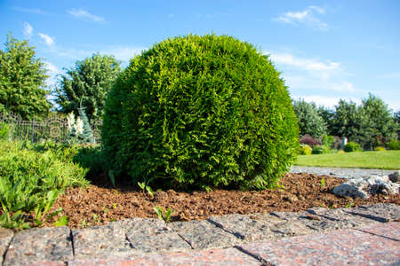 Round boxwood growing in the garden on the lawn near the lawn. Landscaping