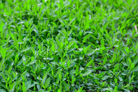 Polygonum aviculare lawn grass close up.