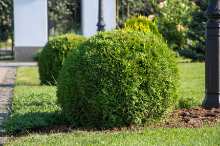 Spherical thuja, landscaping, plants in the backyard.