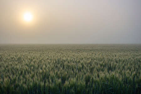 Morning fog over a barley field. The sun breaking through the thick fog.