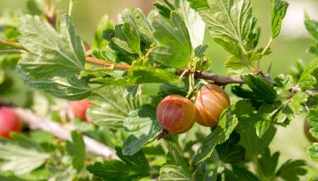 Gooseberries on a green branch, fresh fruit in the garden.