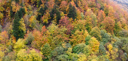 Top view on multicolored tree tops in the autumn forest in the mountains. Autumn panorama of yellowed leaves.