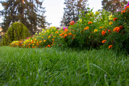 Dew on the lawn in the garden, green grass and blooming flowers in the background. Morning in the park. 免版税图像