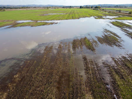 Flooded wheat after a downpour. Destruction of farm crops.