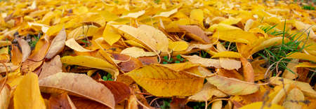 Panorama of yellow fallen leaves lying on the green grass