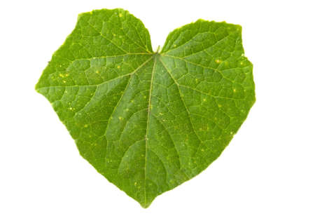 Green cucumber leaf isolated on white background Standard-Bild