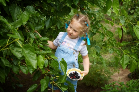 Cute little girl gathering harvest mulberry berries photo
