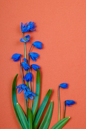 blue spring flowers on brown background photo