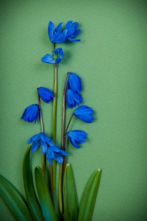 blue spring flowers on green background photo