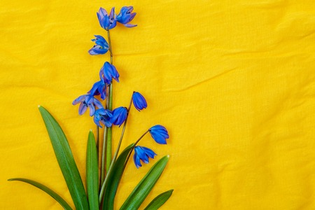 blue spring flowers on yellow background  photo