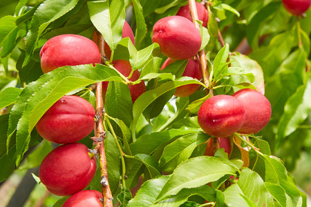 Ripe juicy peaches on a branch in the summer. Generous Harvest