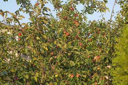 An apple tree in an orchard, on a sunny day
