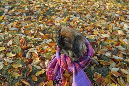 Pekingese breed dog in autumn sunny day in clothes, against the background of fallen leaves