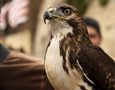 merlin falcon: Portrait of a bird of prey most probably a falcon