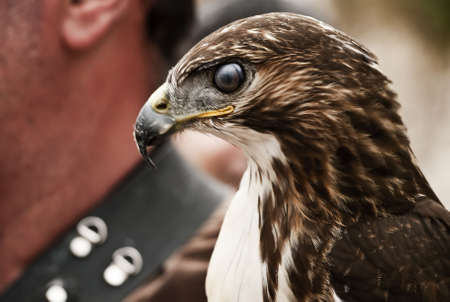 merlin falcon: Portrait of a bird of prey with its transparent eyelid closed
