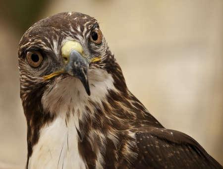 merlin falcon: Portrait of a beautiful raptor or bird of prey Stock Photo