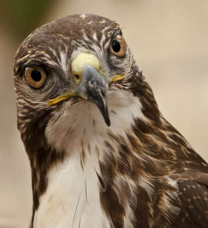 raptor: Portrait of a beautiful raptor or bird of prey Stock Photo
