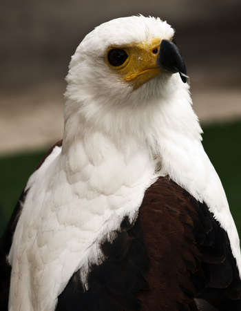 merlin falcon: The African Eagle or Haliaeetus Vocifer seen her in captivity