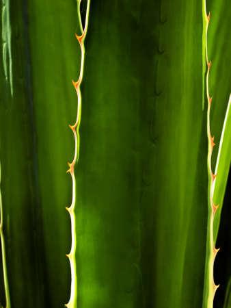 美しい逆光で照らされたサボテンまたはアロエの葉のディテールや質感 写真素材