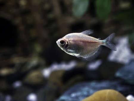 Glassfish or barbs in a freshwater aquarium Stock Photo - 6354568
