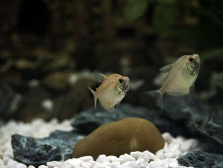 Glassfish or barbs in a freshwater aquarium Stock Photo - 6354572