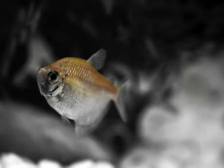 Glassfish or barbs in a freshwater aquarium Stock Photo - 6354573
