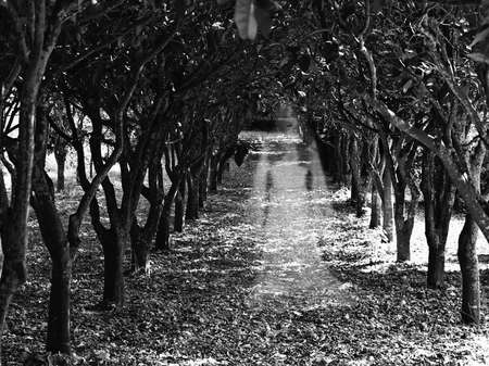 ghosts: Ghostly figure of a woman in an orchard in Buskett in Malta Stock Photo