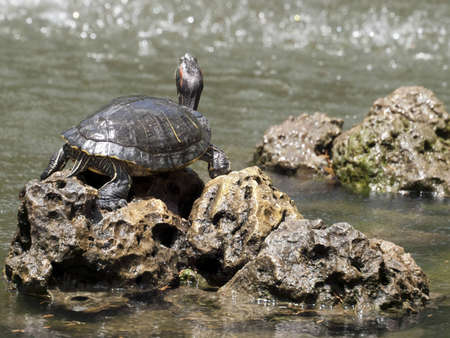 ancient turtles: Freshwater turtle basking in the sun in a garden pond Stock Photo
