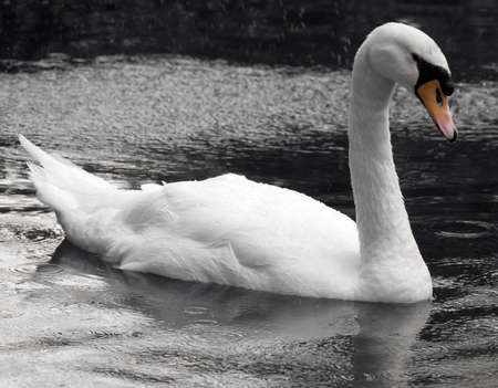 seemingly: A beautiful swan glides across the water in a seemingly sullen tearful mood Stock Photo