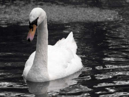 seemingly: A beautiful swan or cygnus gliding across the water seemingly in deep thought Stock Photo