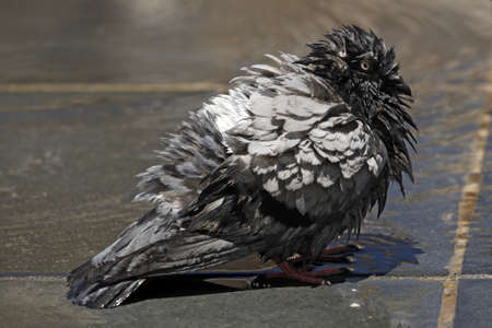 seemingly: A Feral Common Pigeon enjoys a wash on a hot sunny day, seemingly trying to get rid of the parasite riding on its back