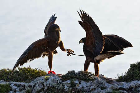 submissiveness: A light territorial fight between two falcons, testing eachothers submissiveness Stock Photo
