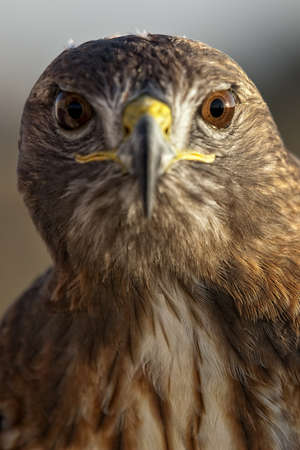 Portrait of a beautiful Red Tailed Hawk or Buteo Jamaicensis photo